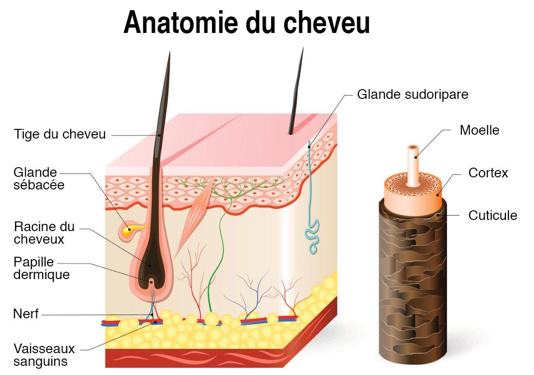 Anatomie du cheveu